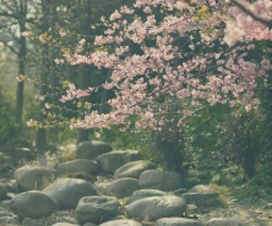 cherry blossom, china, and wallpaper image