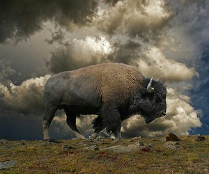 beauty, bison, and impressive image