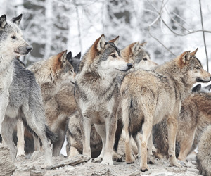 alternative, tumblr, and wolves image