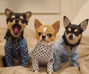 dog, chihuahua, and puppy image