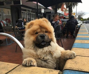 animals, chow chow, and dog image