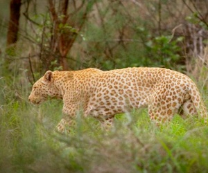 animals, cats, and leopard image