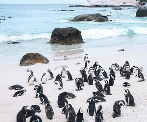 africa, animal, and penguins image