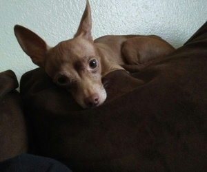 brown, chihuahua, and dog image
