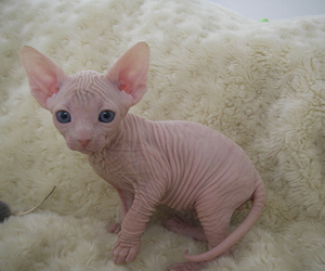 cat, cute, and sphynx image