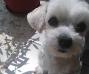 dogs, Lucy, and maltese image