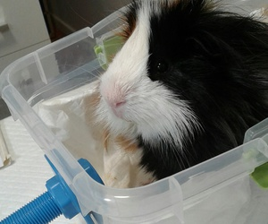 cuy, guinea pig, and sick image