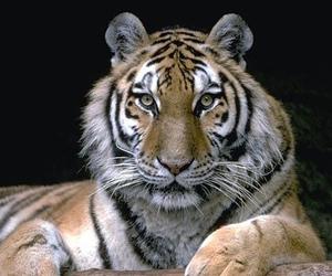Powerful, tiger, and tigri image