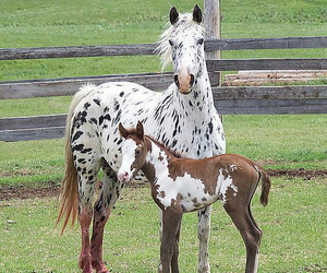 horse, appaloosa, and foal image