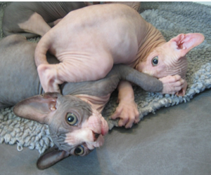 cat, animal, and sphynx image