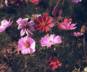 cosmos, flower, and vivid image