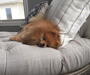 dog, pomeranian, and cute image