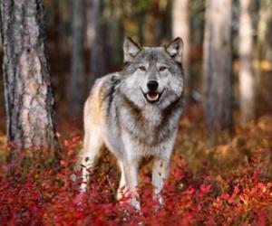 autumn, animal, and wolf image
