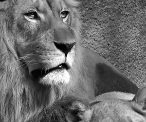 animals, cute, and lions image