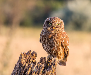 owl, little owl, and perched image