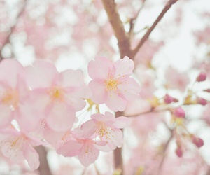 beautiful, cherry blossoms, and flowers image