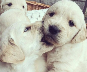 animal, golden retriever, and puppies image