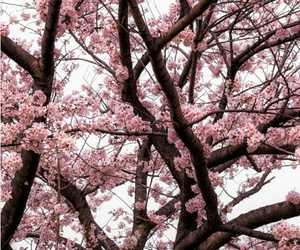 japan, pink, and tree image