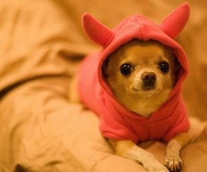 chihuahua, puppy, and dog image
