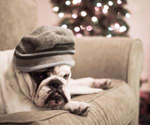 beauty, bull dog, and cutiest image