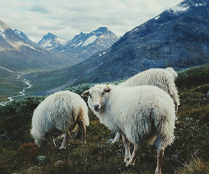 animal, mountains, and sheep image