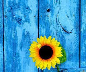 blue, flowers, and sunflower image