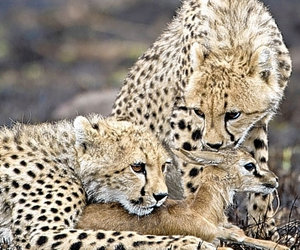 Andy Rouse, cheetah, and cubs image