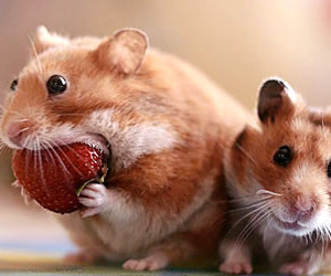 hamster, cute, and strawberry image