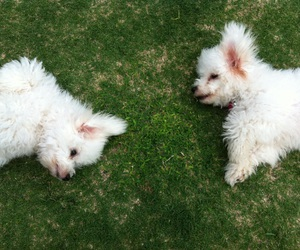 adorable, dogs, and maltese image