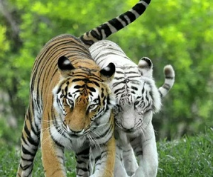 orange, tiger, and white image