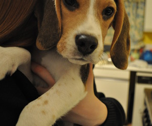 beagle, cute dog, and puppy image