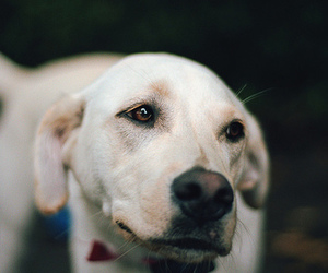 animal, dog, and labrador image