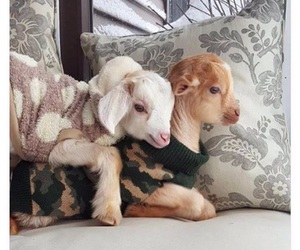 goats, house, and pets image