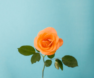 flowers, orange, and rose image
