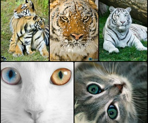 beautiful, cats, and Collage image