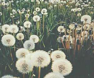 dandelion, flowers, and grass image