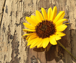 sunflower, wood, and yellow image