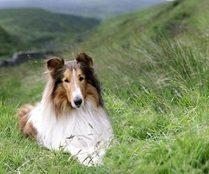 beautiful, collie, and dog image