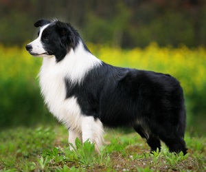 dog, border collie, and beautiful image