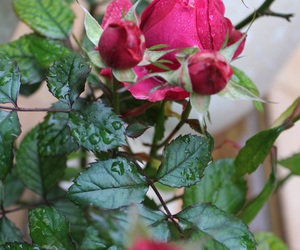 rosa and flor image