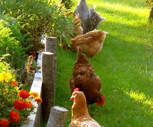 animals, Chicken, and flowers image