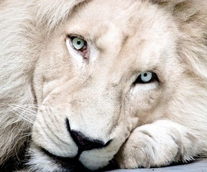 animal, lion, and beautiful image