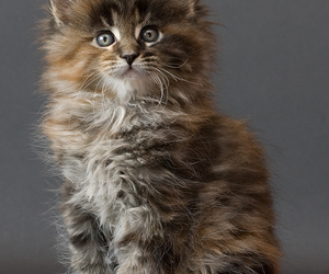 beautiful, cat, and breeds image