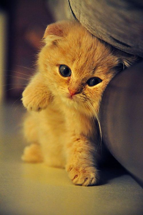 All The Beautiful Cat Breeds In The World Scottish Fold Cat Breed All2need