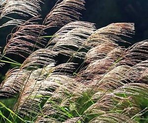 autumn, nature, and japanese pampas grass image
