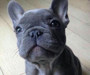 animal, puppy, and bulldog image