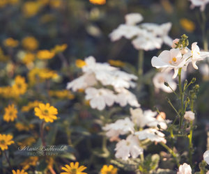 flower, white, and flowerfield image
