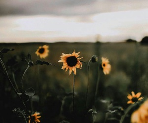 field, nature, and sunflowers image