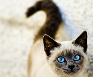 cat, animal, and blue eyes image