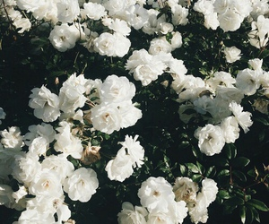 flowers, white, and roses image